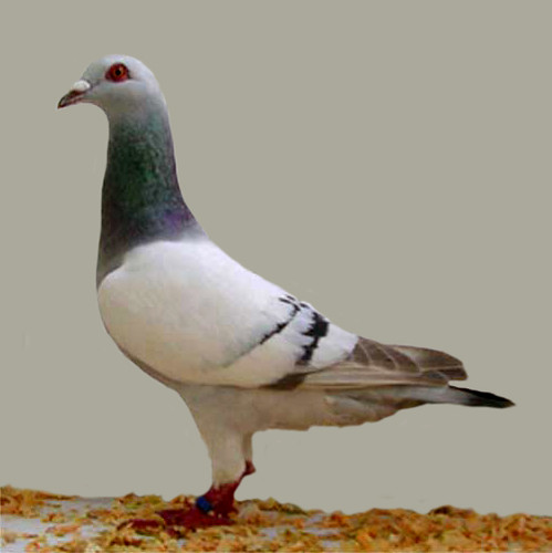 gier pigeon(silver barred) | Flickr - Photo Sharing!: https://www.flickr.com/photos/jimgifford/2218274543