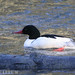 054 Common Merganser