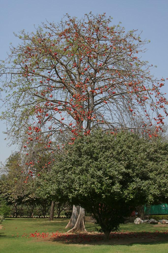 kachnar tree