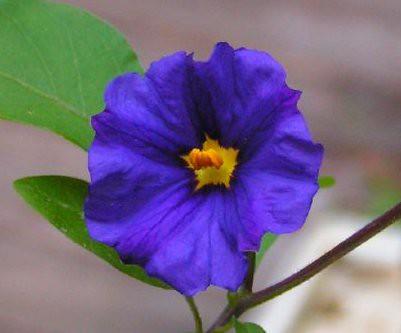 potato flower cropped ...