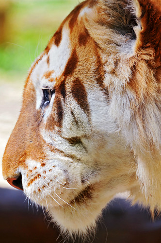 Profile of a golden tiger | by Tambako the Jaguar