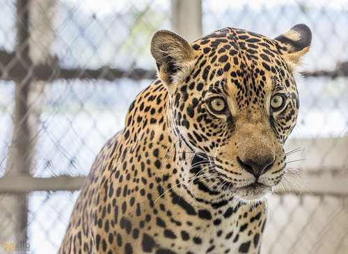 Jaguar Gamboa Wildlife Rescue pandemonio 2017 - 10 | by Eva Blue