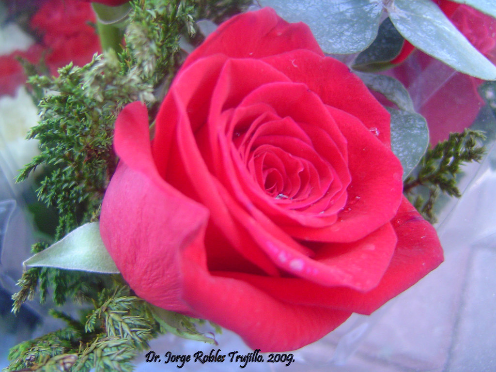 by roblestjorge Rosa, flor hermosa. | by roblestjorge