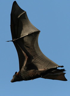 Flight of the Fruit Bat | by maasha