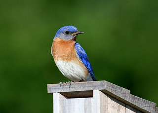 Daddy bluebird | by Lindell Dillon
