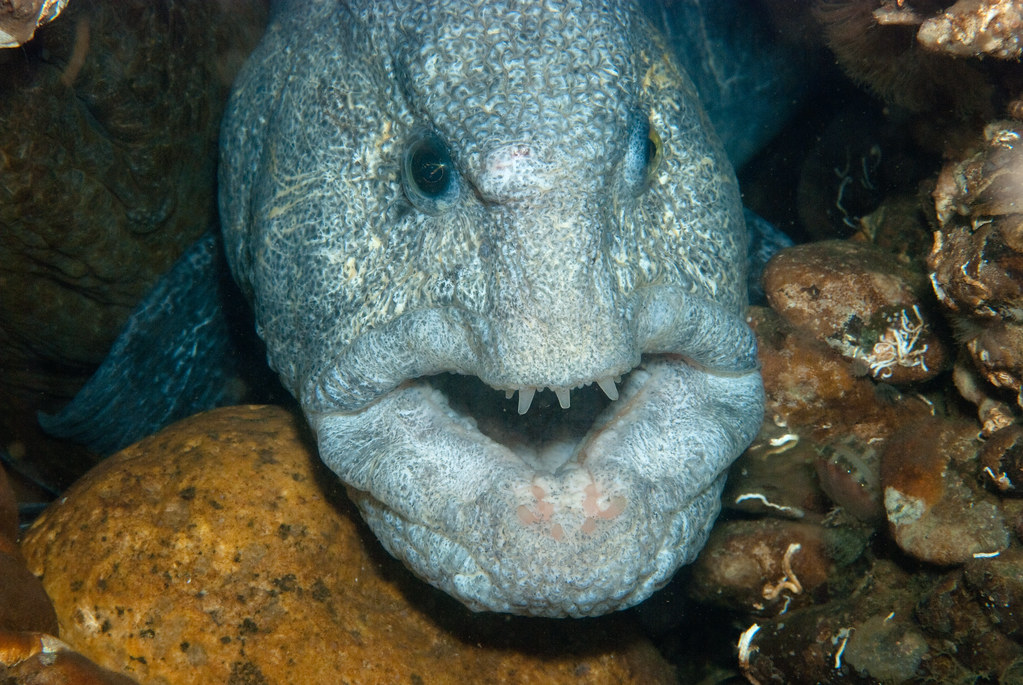 Wolf eel on dalco wall a friendly male wolf eel peering for Black wolf fish
