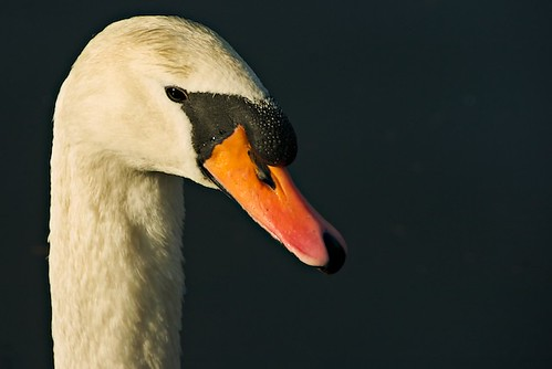 Swan portrait | by maxmatt