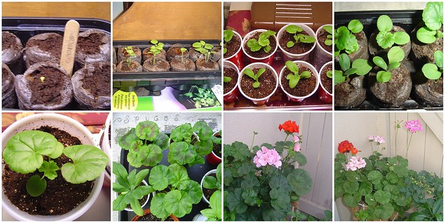 Geraniums by seed