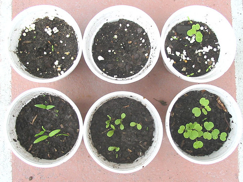 Seed Germination Trials using Vermipost | by www.ecoyardfarmer.com