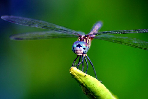 Dragonfly Macro Version | by minds-eye