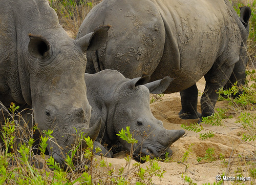 Meet the Rhino family | by Martin_Heigan