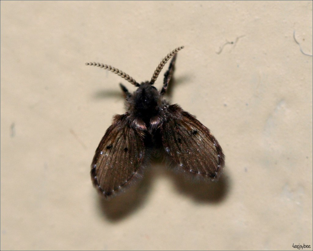 Moth fly now correctly identified as a moth fly by pcoin - Moscas pequenas cocina ...