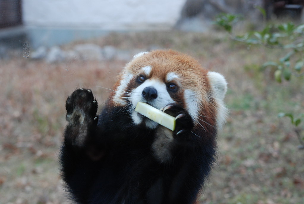 red panda eating snack