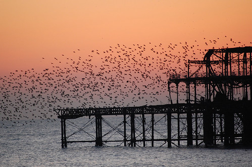 West Pier Starlings (Brighton) | by Zed.Cat