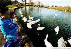 Feed the swans at the Lough | by Donncha Ó Caoimh