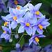 (Deadly) Blue Flowers