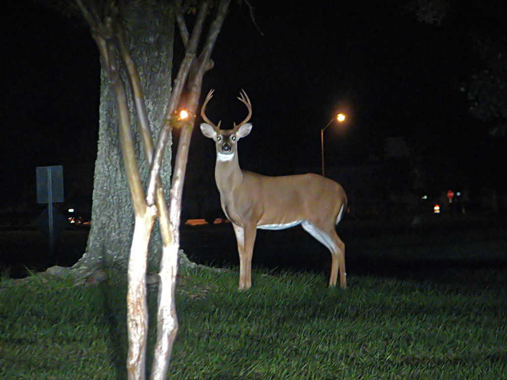 White Dodge Durango >> Deer in the headlights   This magnificent 8-point white ...