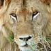 Lion male (Felix leo)