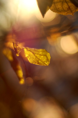lucent leaves | by Wayne Beaven