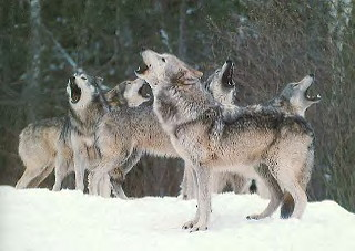 wolf pack howling | White Wolf | Flickr