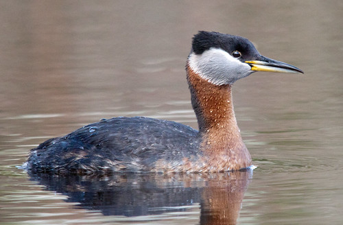 Red-Necked Grebe | by Shawn McCready