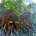 2nd PRIZE - Submerged mangrove, Micronesia