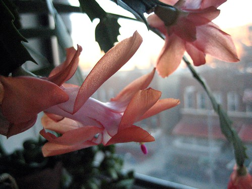 christmas cactus | by boodely