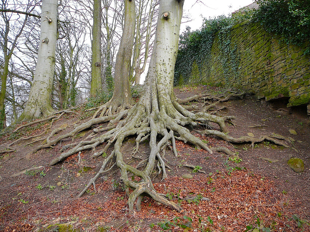 Tree Roots By The River Aire Bingley Tim Green Flickr