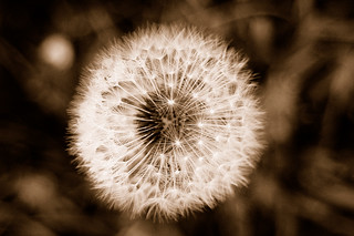 dandelion in sepia | by hurrayic