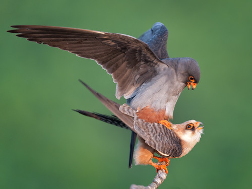 Red-footed Falcons mating | by Tony McLean