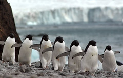 Adelie penguins, Brown Bluff, Antarctic Peninsula | by goneforawander