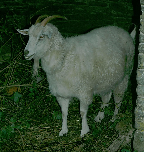 Satanic Welsh Goat | Flickr - Photo Sharing!