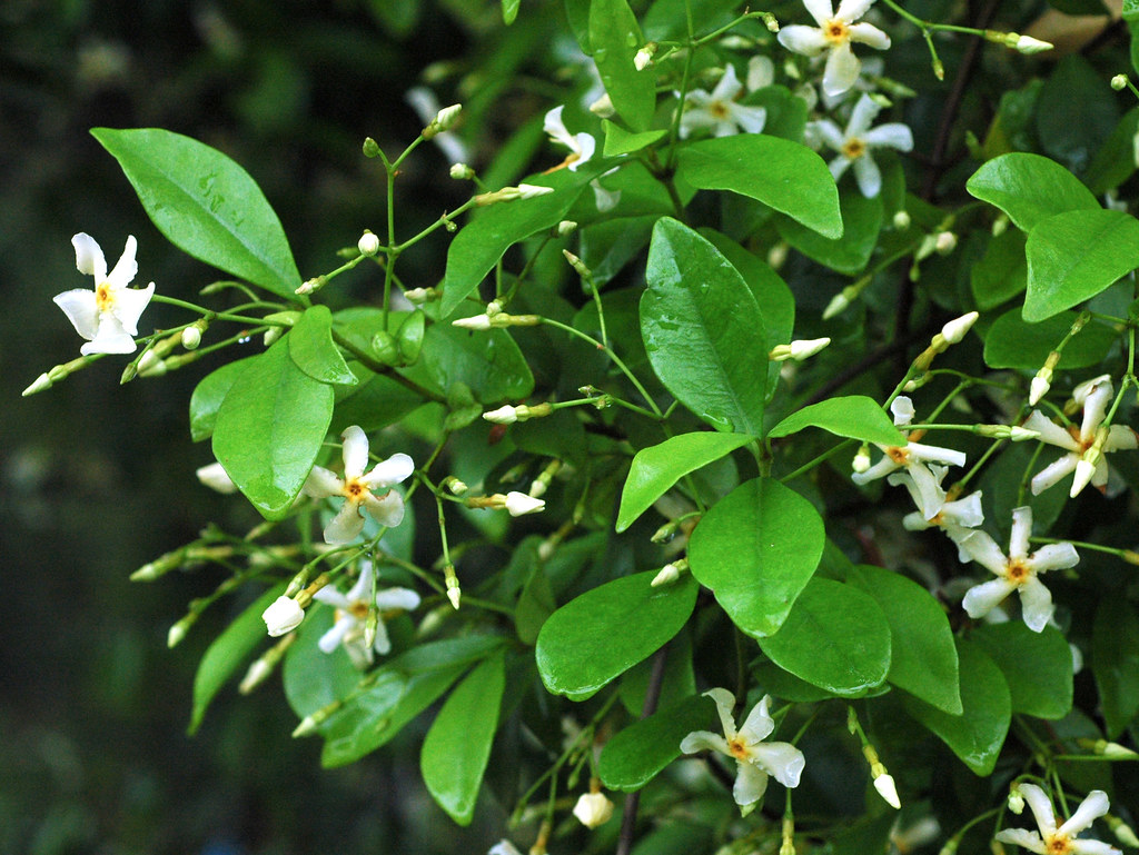 how to write jasmine in japanese