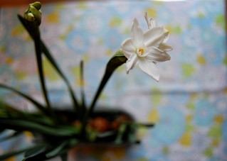 paperwhites | by girlhula