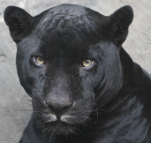 Close up of the Black Jaguar | by kjdrill