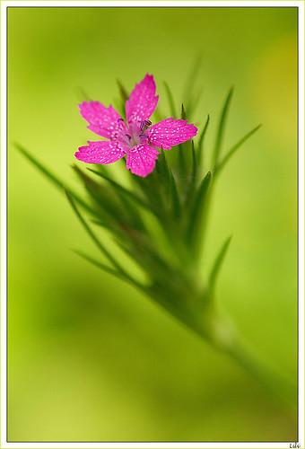 petite fleur rose deptford pink ou dianthus armeria flickr. Black Bedroom Furniture Sets. Home Design Ideas