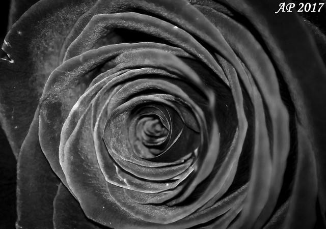 Rose Noire / Black Rose