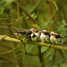 Long-tailed Tit family