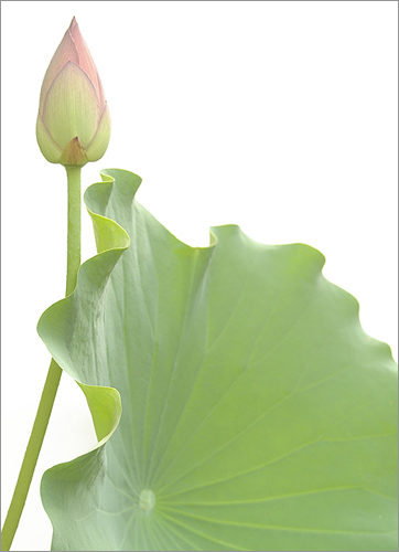 Lotus Flower Bud and Leaf - IMGP7449 | by Bahman Farzad