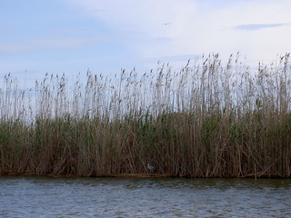 Marsh Reeds | by randwill