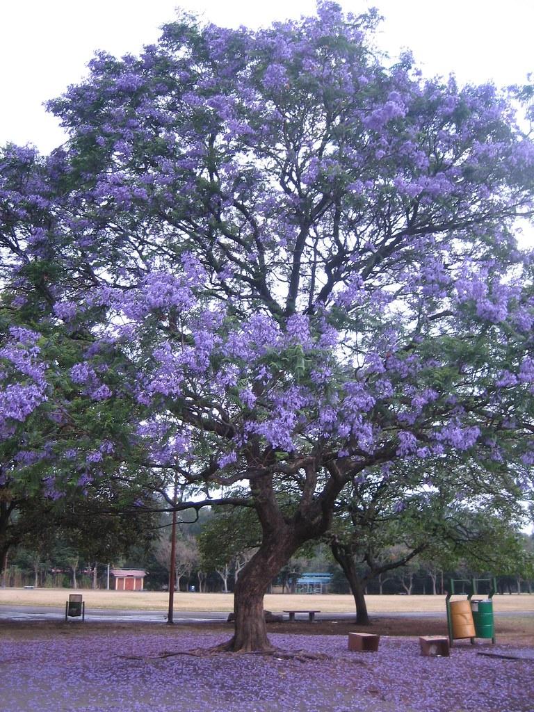 lavender tree jacaranda mimosifolia david castillo