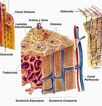 Dibujo del tejido óseo señalando sus partes