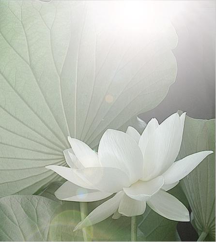 Lotus flower dscn7831 white lotus flower good morning flickr lotus flower dscn7831 by bahman farzad mightylinksfo