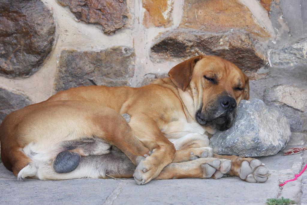 The dog's bollocks | Sleeping dog near the main square in Ol… | Flickr