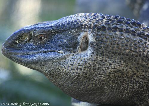 Black-throated Monitor Lizard | Brevard County Zoo in ...