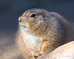 Isn't this about the cutest little Prairie Dog you've ever seen? | by Jim Frazee