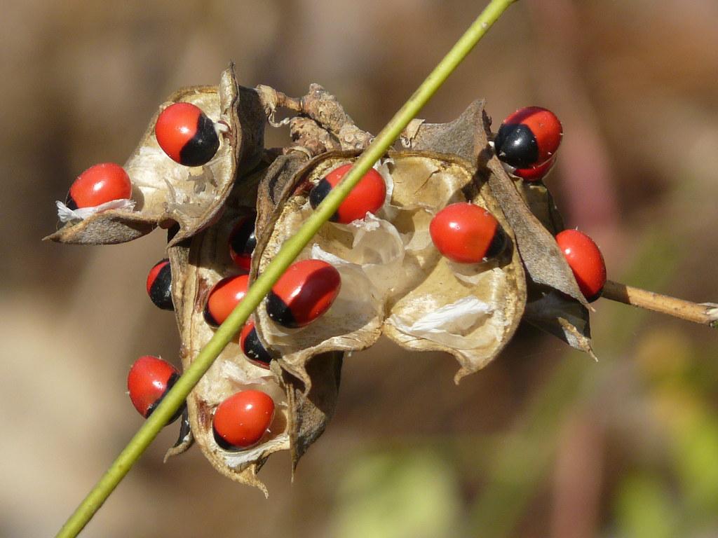 Abrus Seed