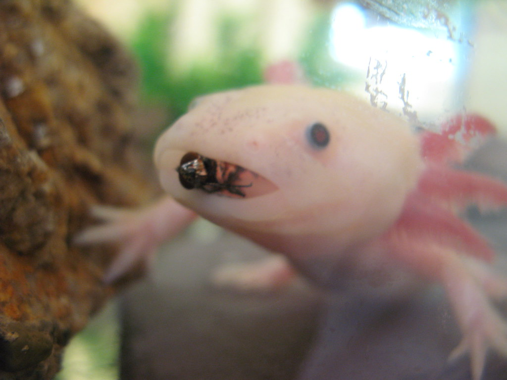 Axolotl eating a fly | The fly was my focus here | Jack Morley ... Guppy Fish Eggs In Tank