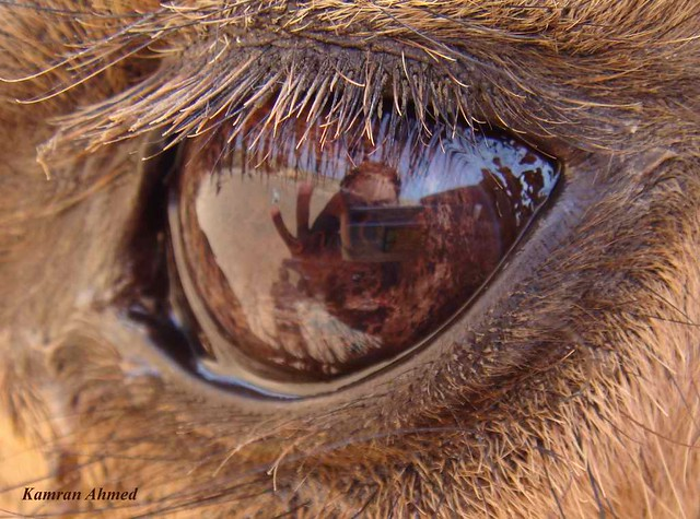 Camel Eye | Camel looking into my camera i took her shot ...