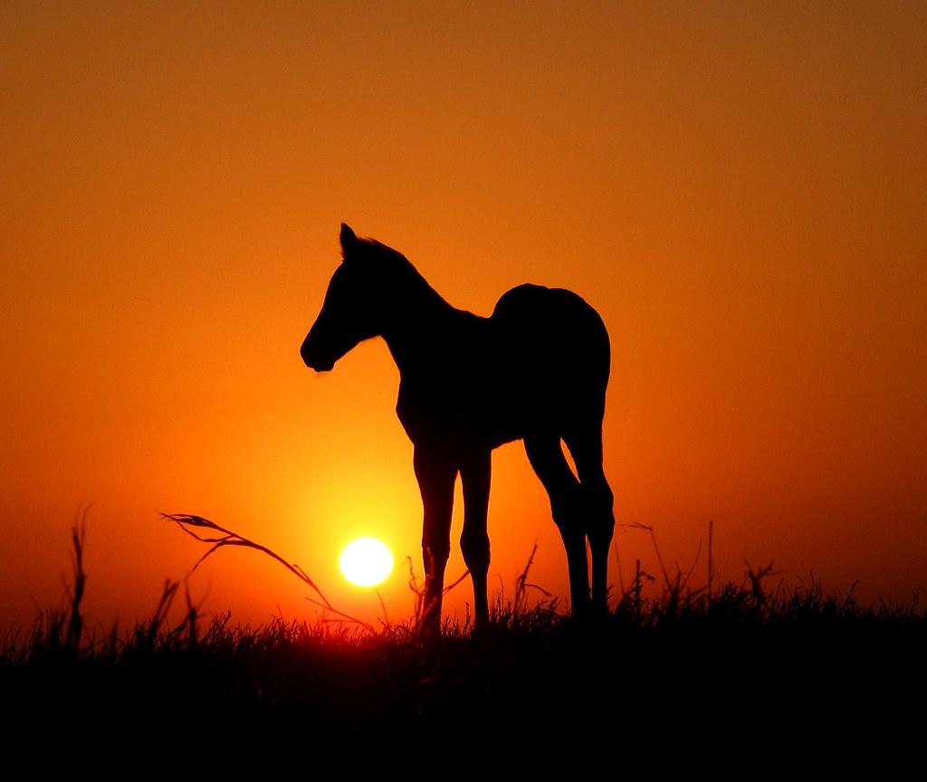 Horse Colt Against Sunset Silhouette Smart Mate X